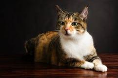 年轻Torbie小猫猫摆在 库存图片