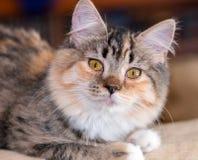 Torbie с белым котенком Стоковые Изображения