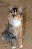 Torbie aux cheveux milieux avec le chaton blanc Photo stock