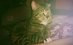 Torbie grazioso/Tabby Cat su un cuscino Fotografia Stock