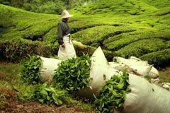 Torby pełno herbaciani liście na herbacianej plantaci Zdjęcia Royalty Free
