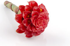 Torch имбирь, имбирные семьи цветков elatior Etlingera (RM Смит elatior Etlingera (Джека).). Стоковая Фотография RF