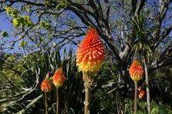 Torch цветок лилии Стоковая Фотография