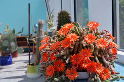 Torch cactus blooms flowers. Echinopsis huascha. Royalty Free Stock Photo