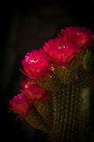 Torch Cactus Blooms. Large Red Torch Cactus Flowers in the Sonoran Desert with dark background royalty free stock photo