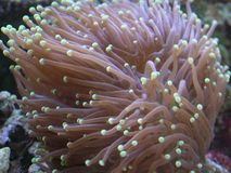 Torch Coral. Gold tipped torch coral Euphyllia Glabrescens Stock Image