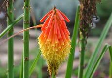 Torch fiore rosso del giglio il bello e giallo variopinto in naturale immagine stock libera da diritti