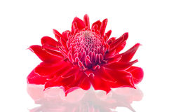 Torch ginger. Flower on white background Stock Image