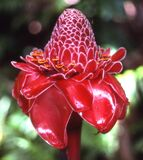 torch ginger royalty free stock photos
