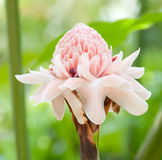 Torch ginger against lush tropical growth Stock Images
