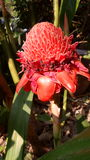 Blooming Salmon Pink Torch Ginger in tropical garden  Stock Photo