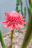Torch ginger, Etlingera elatior Stock Photo
