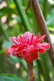 Torch ginger, etlingera elatior flowers Stock Photo