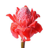 Torch Ginger Royalty Free Stock Image