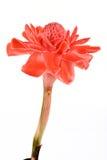 Torch Ginger, Etlingera elatior flowers family zingiberaceae Etlingera elatior Jack RM Smith. Royalty Free Stock Photos