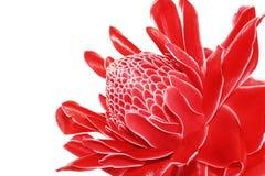 Torch Ginger, Etlingera elatior, zingiberaceae flower isolated o Stock Photo