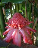 Salmon Pink Torch Ginger flower in the tropical garden Royalty Free Stock Photos