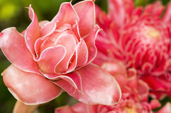 Torch ginger flower Stock Photos