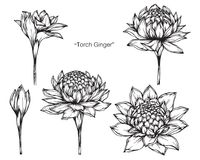 Torch ginger flower drawing and sketch. Torch ginger flower drawing and sketch with line-art on white backgrounds Royalty Free Stock Photo