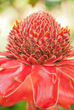 Torch ginger Stock Photography