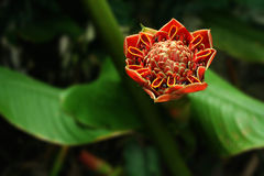 Torch Ginger Flower in full bloom. Torch ginger bud found in the tropics. Used in south east asian cooking, considered the soul to peranankan dishes. Found in Royalty Free Stock Photo