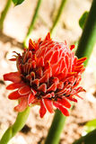 Torch ginger flower Royalty Free Stock Photography