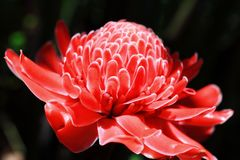 Torch ginger Royalty Free Stock Photo