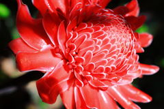 Torch ginger Royalty Free Stock Images