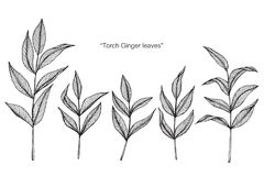 Torch ginger leaf drawing and sketch. Torch ginger leaf drawing and sketch with line-art on white backgrounds vector illustration