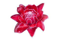 Torch Ginger Plant Stock Photo