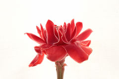 Torch Ginger. Red on white background Stock Image