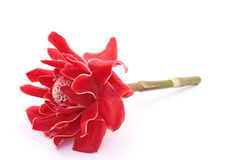 Torch Ginger. Red on white background Royalty Free Stock Photography