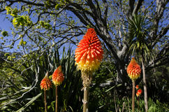 Torch Lilien-Blume Stockfotografie
