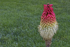 Torch Lily Royalty Free Stock Photos