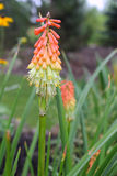 Torch Lily Flower Stock Image