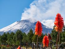 Torch lily flowers in Popocatepetl volcano. Torch lily flowers in foreground with Popocatepetl volcano in background, Itza-Popo National Park, Mexico royalty free stock photography