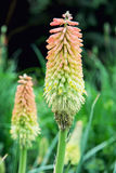Torch lily (Kniphofia uvaria) Stock Photo