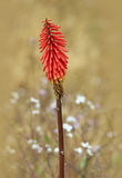Torch Lily (Red Hot Fire Poker). Single torch lily in a field of wildflowers royalty free stock photos
