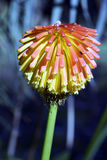 Torch lily or red hot poker Royalty Free Stock Image