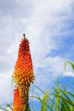 Torch Lily sky Stock Image