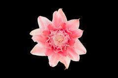 Torche Ginger Flower Images libres de droits