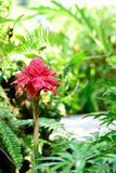 Torche Ginger Flower Photos stock