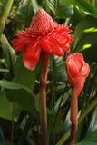 Torcia rossa Ginger Bloom Immagine Stock