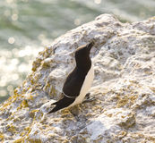 Torda Razorbill.JH d'Alca Photos stock