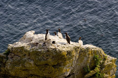 Torda Razorbill.JH do Alca Foto de Stock Royalty Free
