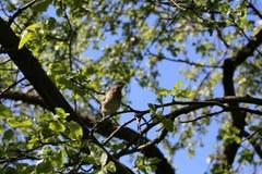 Tordella del polluelo en una rama de árbol en el jardín Imagen de archivo libre de regalías