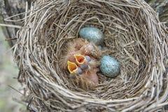 Tordo bottaccio dei pulcini del principiante che si siede nel nido, nido di vita con i pulcini nel selvaggio fotografia stock libera da diritti