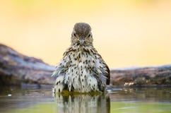 Tordo bottaccio - philomelos del Turdus fotografie stock libere da diritti