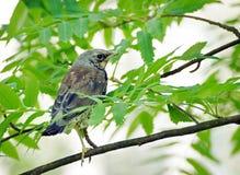 Tordo che si siede fra le foglie verdi su un ramo di albero nella foresta Fotografie Stock