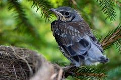 Tordo de canción joven que se sienta en polluelos de una rama en una jerarquía en un cierre de la rama de árbol para arriba en pr fotografía de archivo